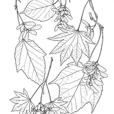 <p>Maple Leaves</p>